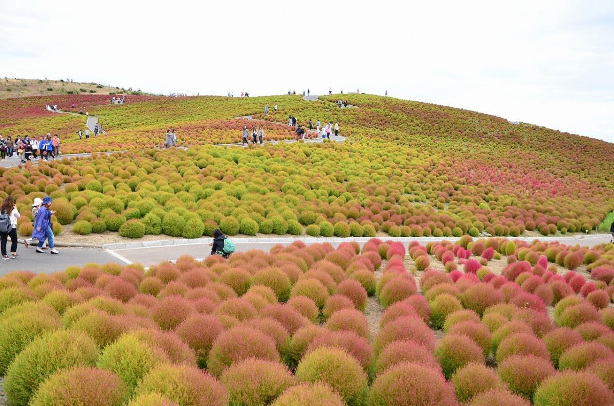 Kokia ở công viên Hitachi Seaside được trồng với mục đích tạo ra không gian màu sắc