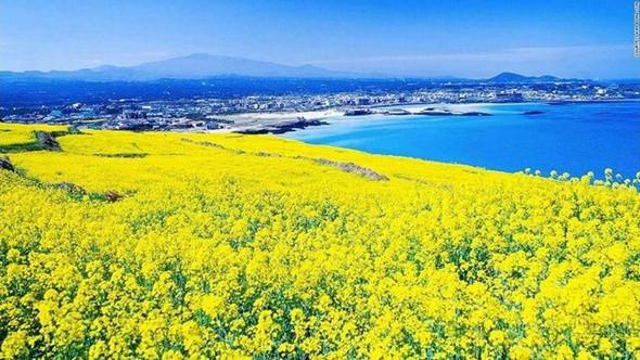 Những cánh đồng hoa cải đẹp tuyệt tại Hàn Quốc - đảo Jeju