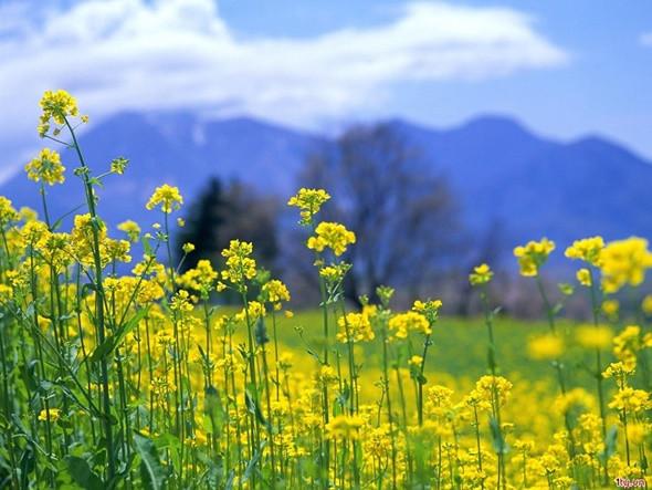 Check in cánh đồng hoa cải đẹp ngỡ ngàng ở Hàn Quốc - ảnh 4
