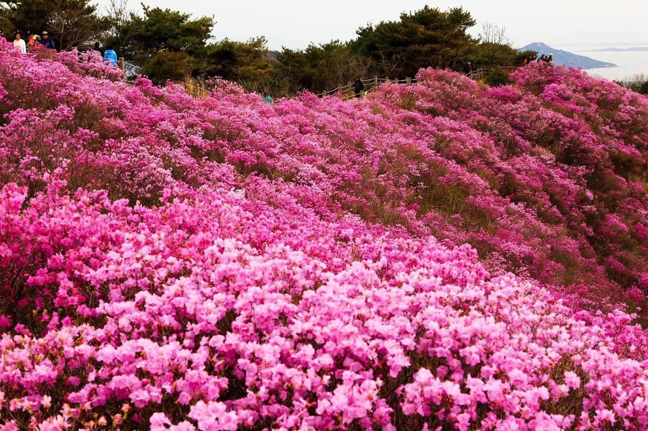 Mê mẩn nét đẹp lãng mạn mùa xuân đảo Jeju – ảnh 5