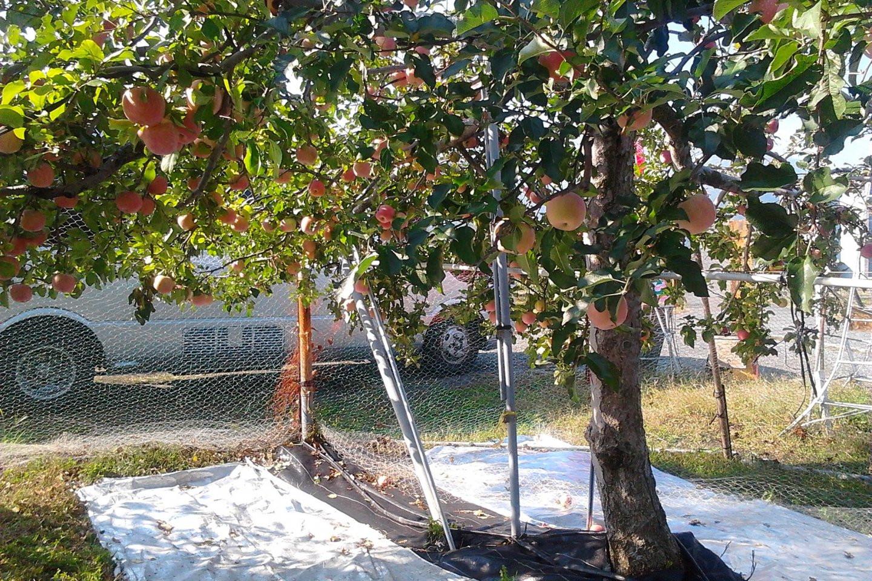 Đắm chìm vườn trái cây Yamanashi lớn nhất nước Nhật - ảnh 3