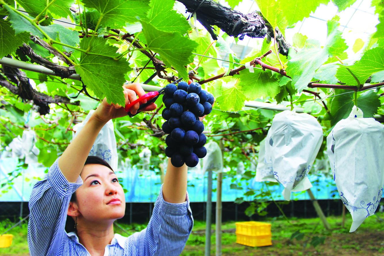 Đắm chìm vườn trái cây Yamanashi lớn nhất nước Nhật - ảnh 4
