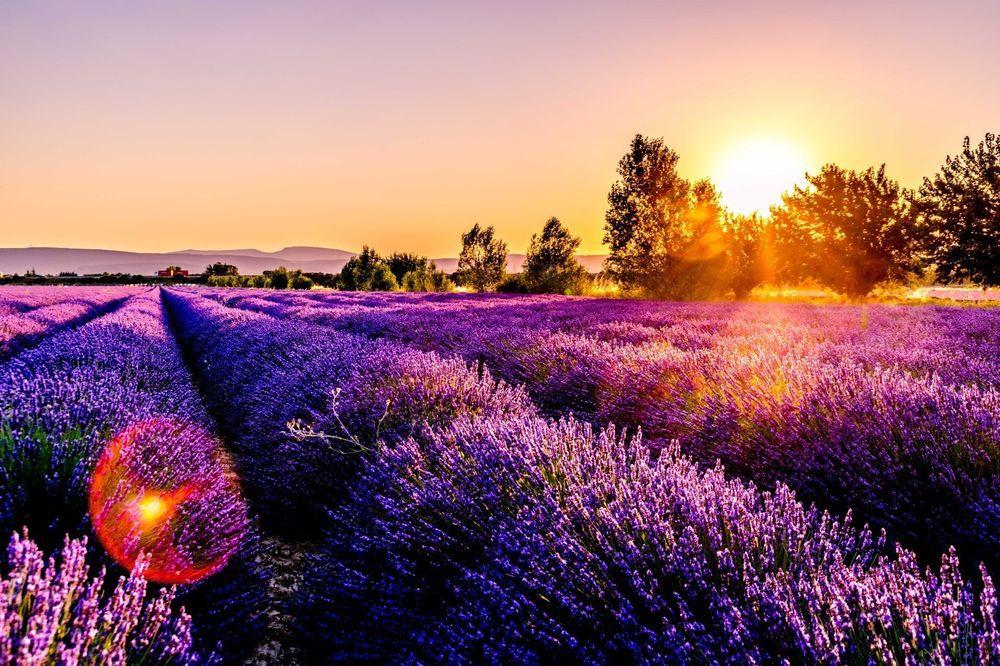 Nét đẹp thơ mộng của các cánh đồng hoa Lavender ở Pháp - ảnh 2