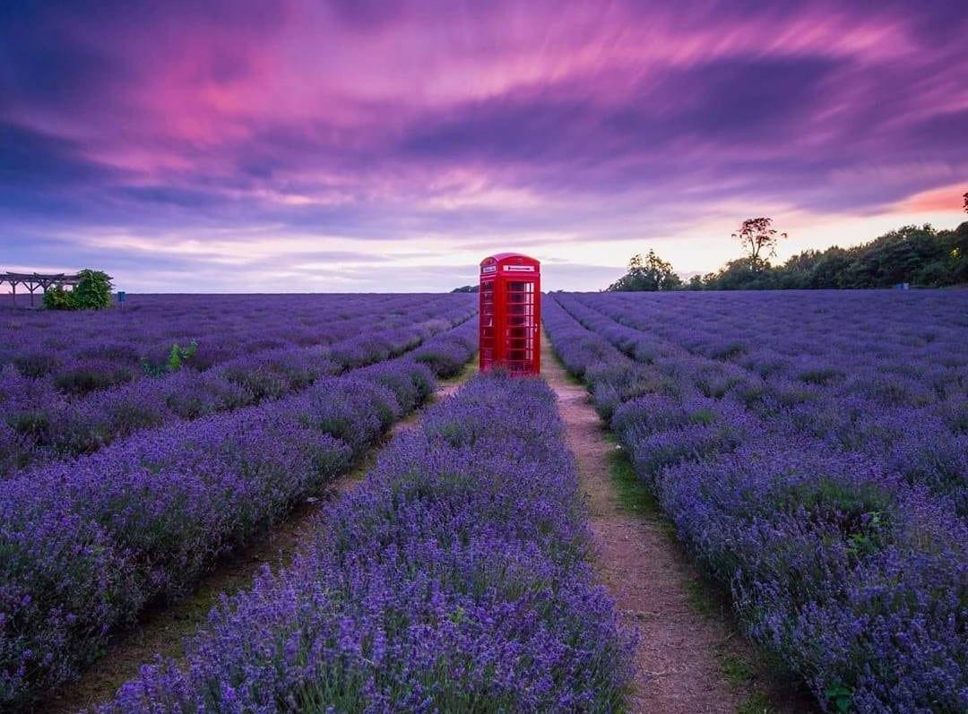 Nét đẹp thơ mộng của các cánh đồng hoa Lavender ở Pháp - ảnh 3
