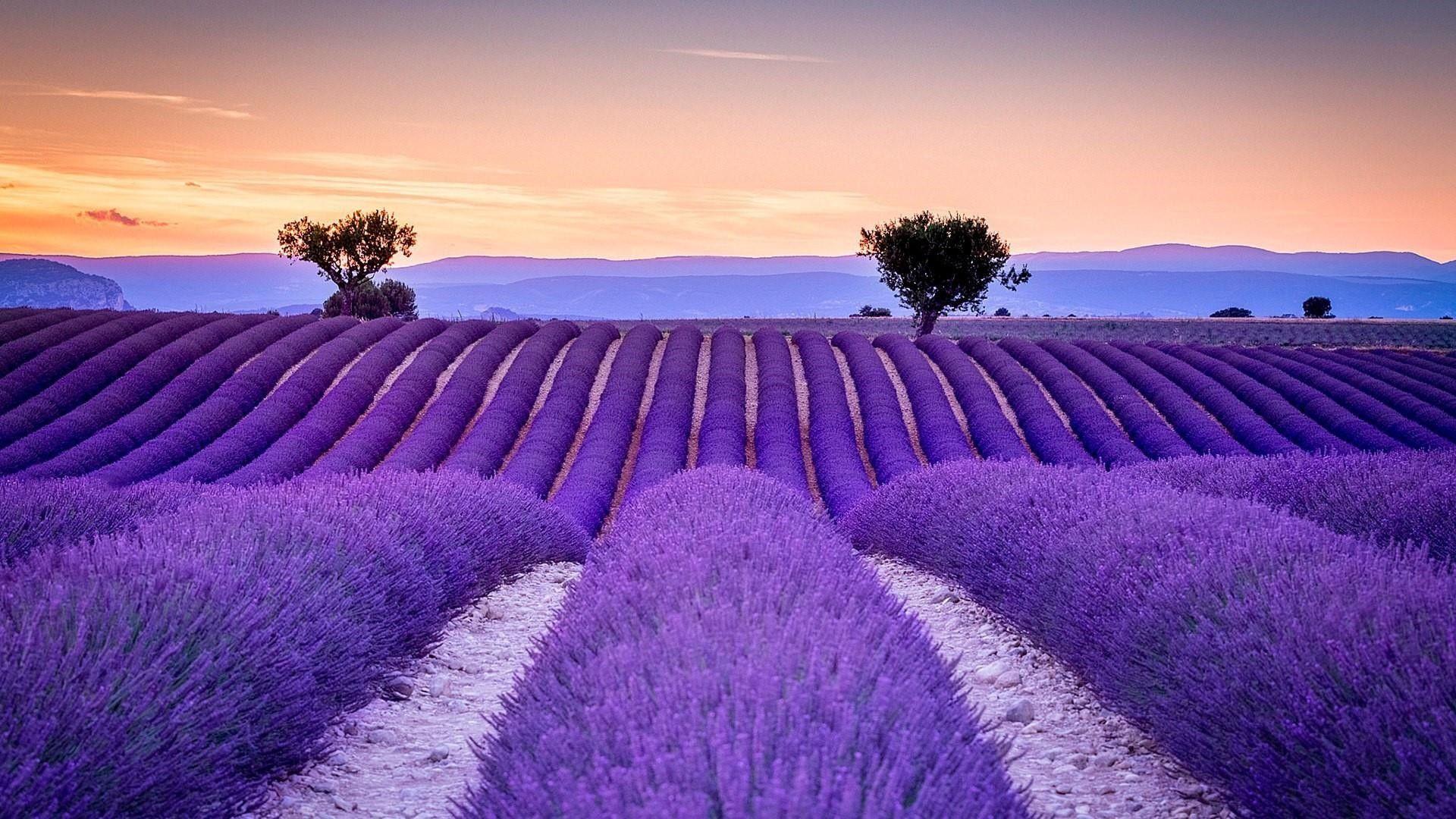 Nét đẹp thơ mộng của các cánh đồng hoa Lavender ở Pháp - ảnh 5