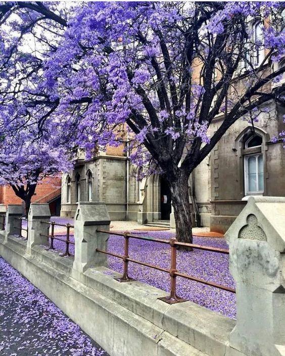 Sắc hoa phượng tím Jacaranda làm say lòng khách du lịch Úc - ảnh 4