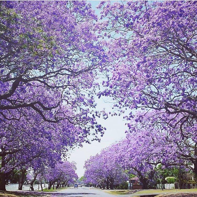 Sắc hoa phượng tím Jacaranda làm say lòng khách du lịch Úc - ảnh 2