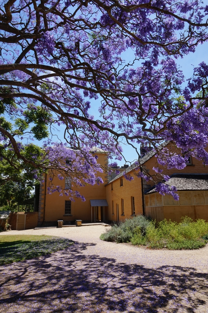 Sắc hoa phượng tím Jacaranda làm say lòng khách du lịch Úc - ảnh 5