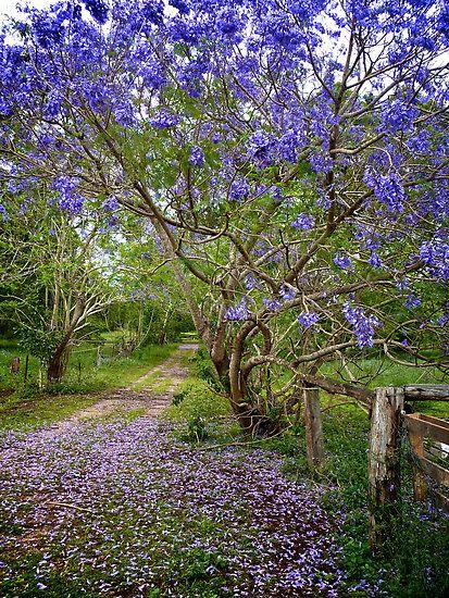 Sắc hoa phượng tím Jacaranda làm say lòng khách du lịch Úc - ảnh 6
