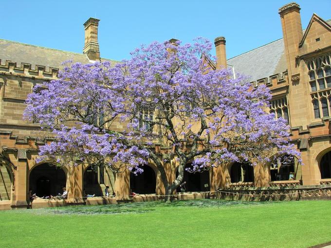 Sắc hoa phượng tím Jacaranda làm say lòng khách du lịch Úc - ảnh 7