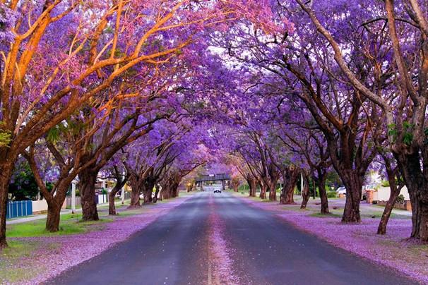 Sắc hoa phượng tím Jacaranda làm say lòng khách du lịch Úc - ảnh 8