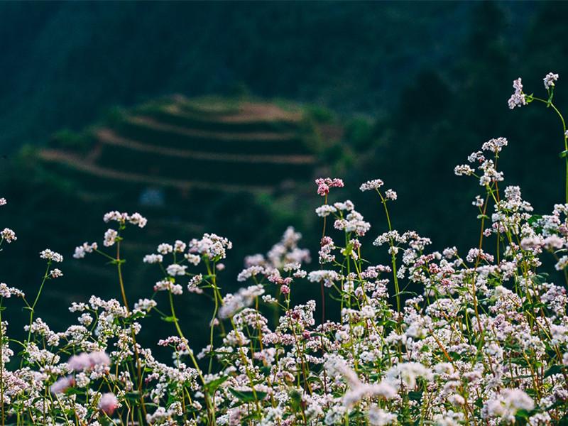 Đến Sủng Là -ngắm hoa tam giác mạch đẹp nhất Hà Giang