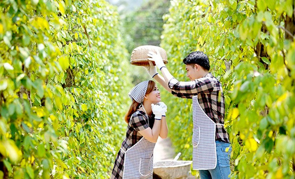 Oanh tạc vườn tiêu tươi xanh ở Phú Quốc - ảnh 4
