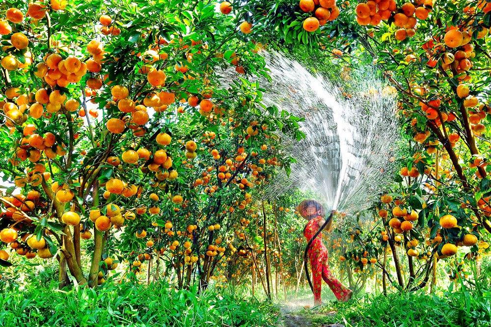 """Có gì tại vườn trái cây Mỹ Khánh mà khiến du khách """"đắm say"""" đến vậy? - ảnh 1"""