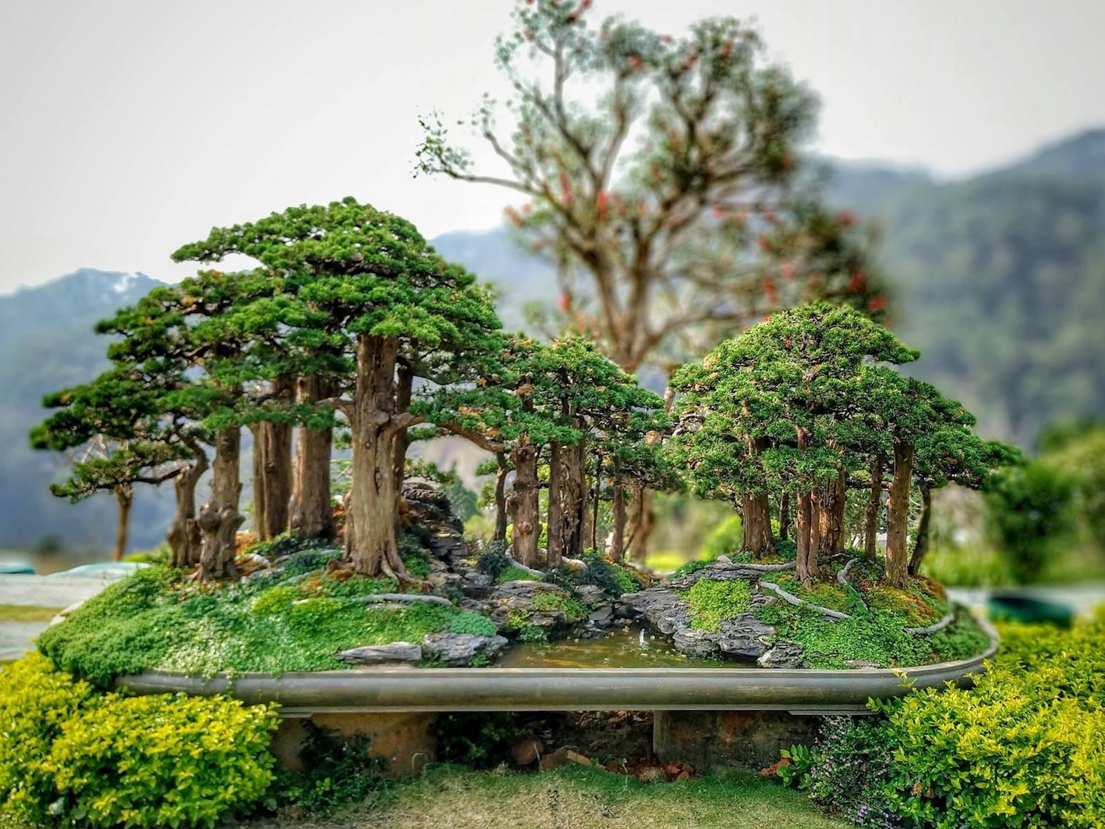 Chủ nhân của Que Garden Đà Lạt là một người cực kì đam mê, hứng thú với bonsai lá kim.