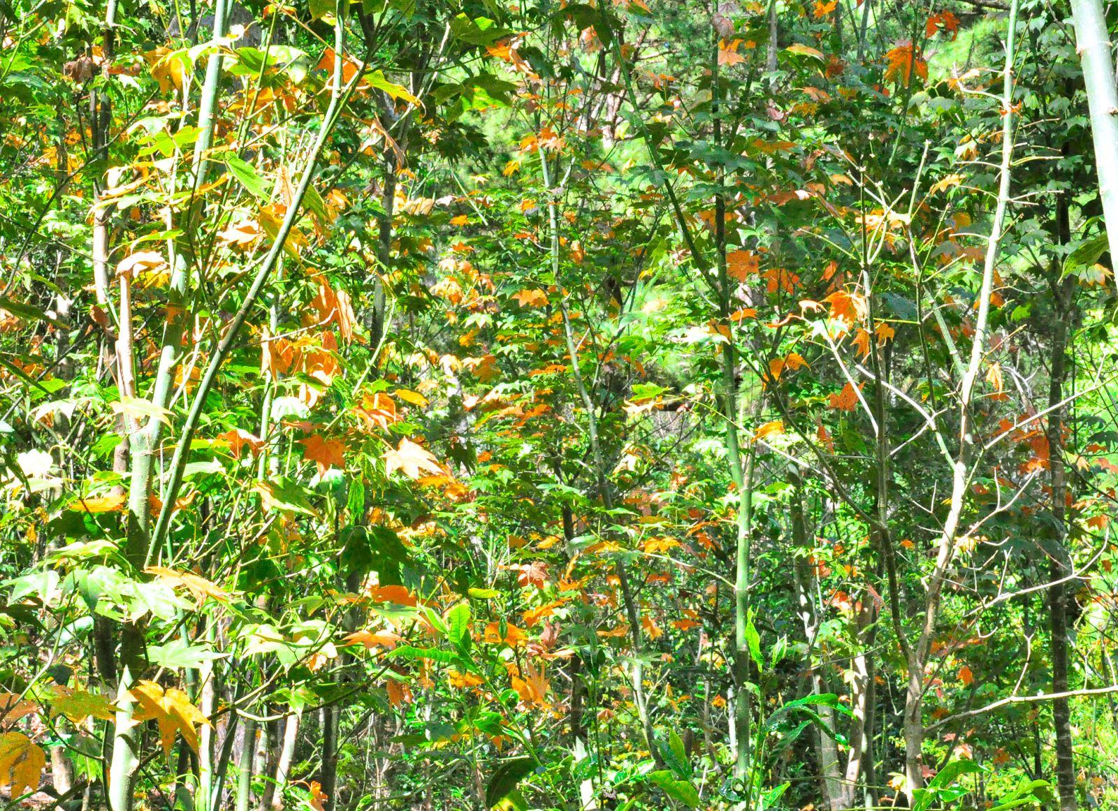 Khám phá mùa thu Nhật Bản ngay tại rừng lá phong Đà Lạt - ảnh 1