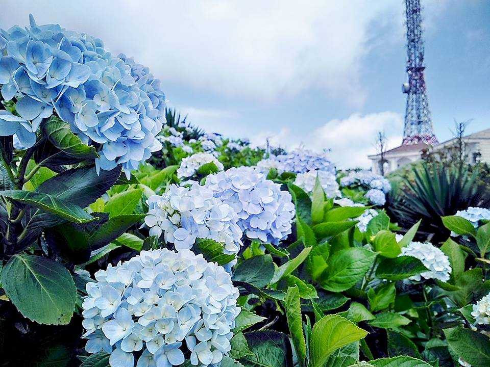 Khám phá vườn cẩm tú cầu đẹp tựa tranh tại thành phố ngàn hoa - ảnh 2