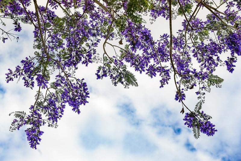 Tháng 3, tháng 4 du lịch Đà Lạt ngắm sắc hoa phượng tím mộng mơ - ảnh 3