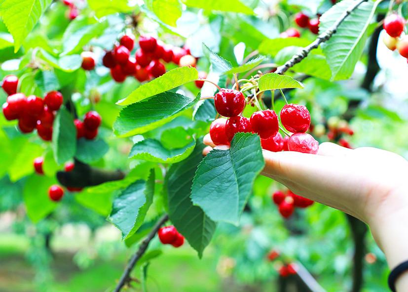 Khám phá vườn trái cây Bacchus Marsh
