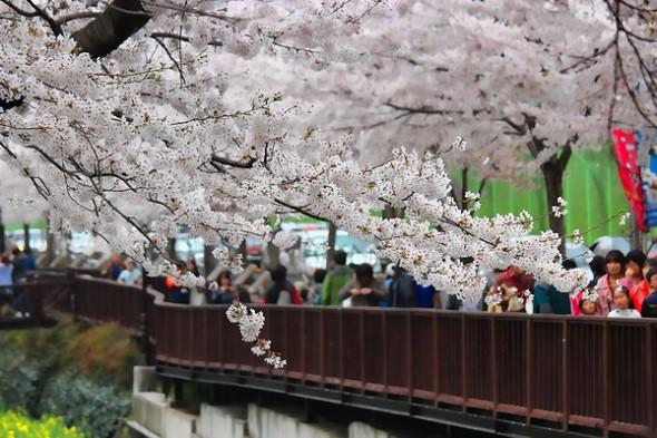 Hàn Quốc – thiên đường ngắm hoa anh đào - Jinhae
