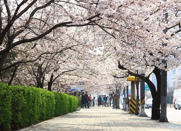 Hàn Quốc – thiên đường ngắm hoa anh đào - Yeouido