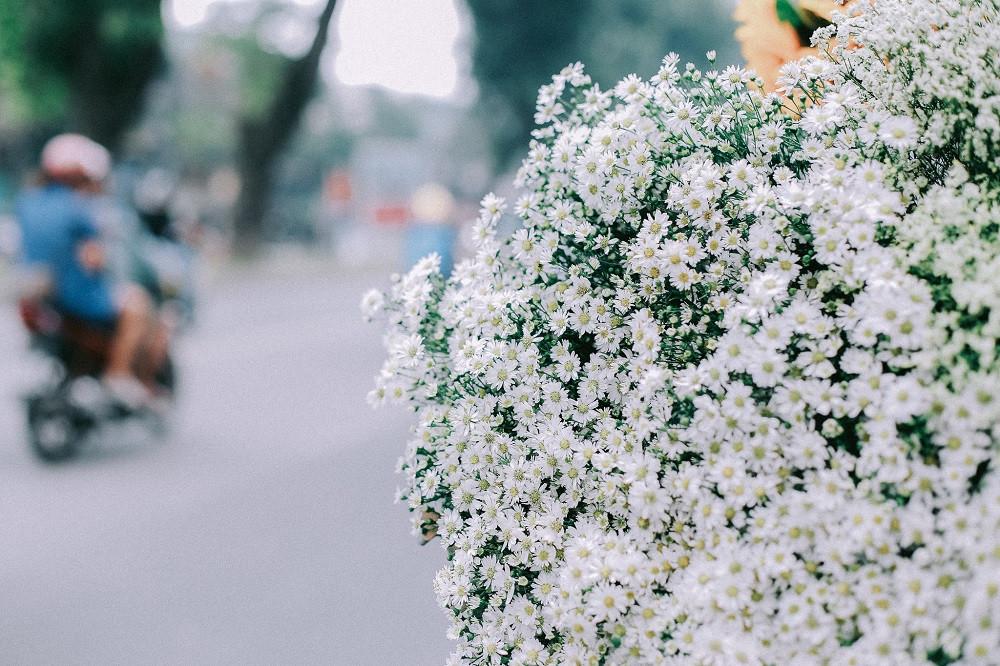 Hà Nội tinh khôi mùa Cúc Họa Mi những ngày chớm Đông - ảnh 2