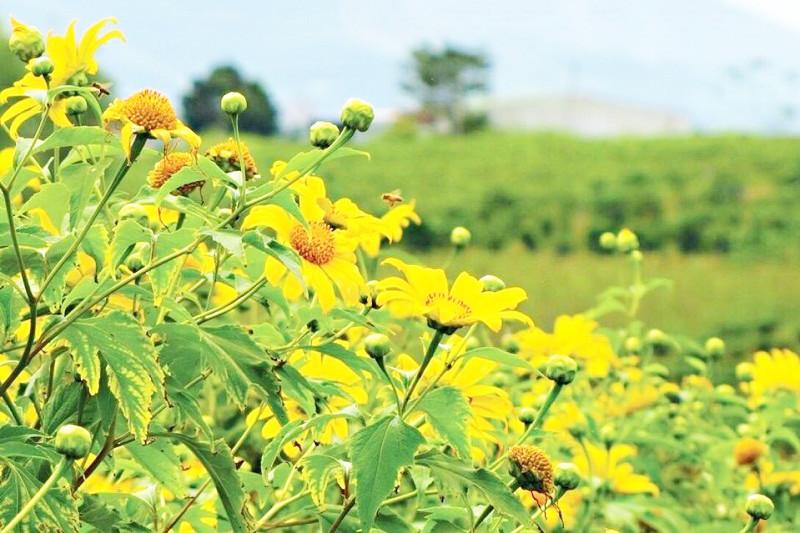 Tháng 10, du lịch Gia Lai thỏa sức check-in cùng sắc hoa muồng vàng rực rỡ - ảnh 6
