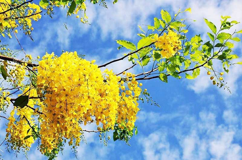 Tháng 10, du lịch Gia Lai thỏa sức check-in cùng sắc hoa muồng vàng rực rỡ - ảnh 2