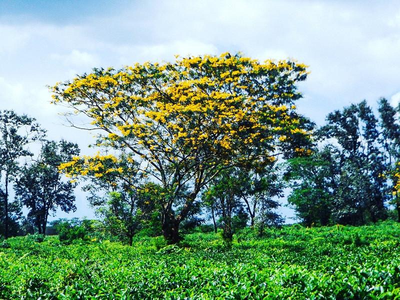 Tháng 10, du lịch Gia Lai thỏa sức check-in cùng sắc hoa muồng vàng rực rỡ - ảnh 3