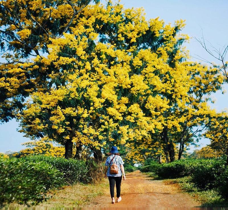 Tháng 10, du lịch Gia Lai thỏa sức check-in cùng sắc hoa muồng vàng rực rỡ - ảnh 8