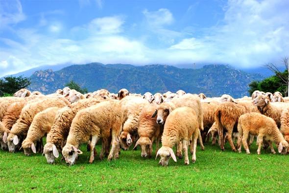 Những điểu thú vị chỉ có ở nước Úc - Cừu Úc