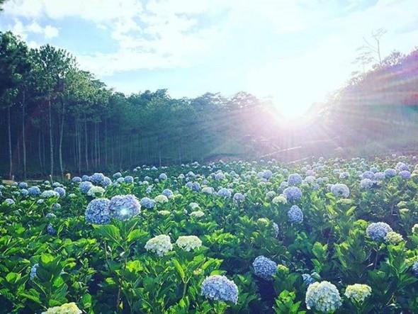 5 Địa Điểm Triệu View Tại Đà Lạt - Cánh đồng hoa Cẩm tú cầu